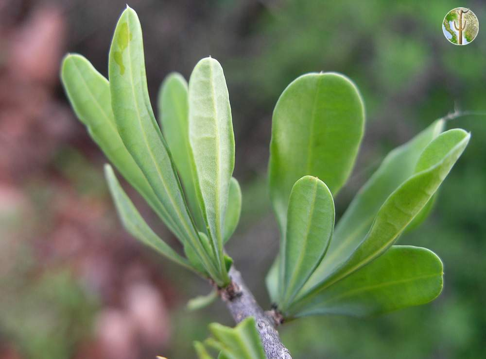 Phaulothamnus spinescens leaves