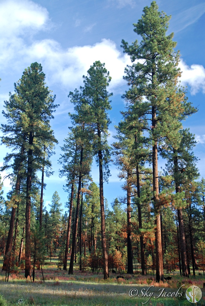 Pine forest vegetation community